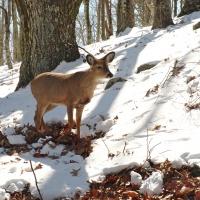 deer shenandoah national park